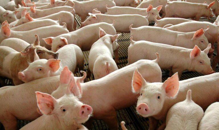 Novo vírus é identificado em rebanhos de porcos na China