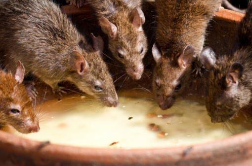 OPINIÃO   Ratos, voltem aos esgotos!